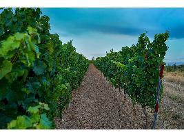 España solicitará a la Comisión fondos extraordinarios para hacer frente a las dificultades del sector vitivinícola.