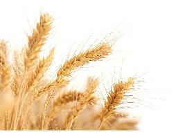 Los precios de los cereales en los mercados mayoristas siguen disparados con subidas de 10€ en el maíz o 13 en el trigo duro.